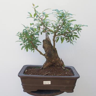 Bonsai zewnętrzne - dziób ptaka Ligustrum - 1