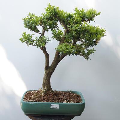 Bonsai ogrodowe - Bukszpan - 1
