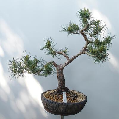 Bonsai ogrodowe - Pinus sylvestris Watereri - sosna zwyczajna - 1