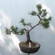 Bonsai ogrodowe - Pinus sylvestris Watereri - sosna zwyczajna - 1/5