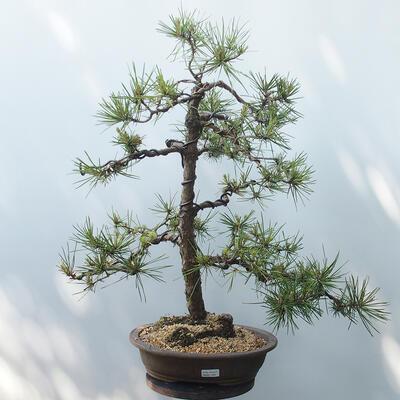 Bonsai ogrodowe - Pinus sylvestris - sosna zwyczajna - 1