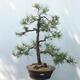 Bonsai ogrodowe - Pinus sylvestris - sosna zwyczajna - 1/4