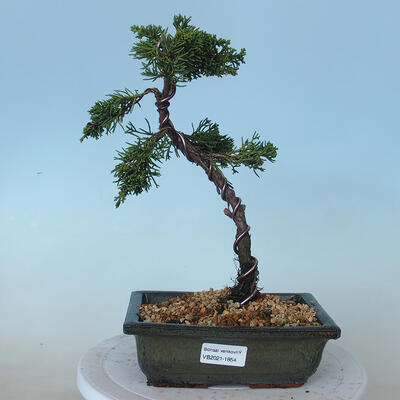 Outdoor bonsai - Juniperus chinensis - Jałowiec chiński