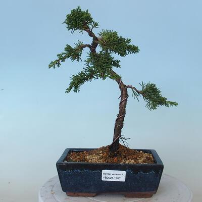 Bonsai outdoor - Juniperus chinensis - Jałowiec chiński Chinese