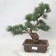 Outdoor bonsai - Pinus parviflora - Sosna drobnokwiatowa - 1/5