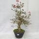 Outdoor bonsai - głogowe białe kwiaty - Crataegus laevigata - 1/6