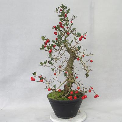 Outdoor bonsai - głogowe białe kwiaty - Crataegus laevigata - 1