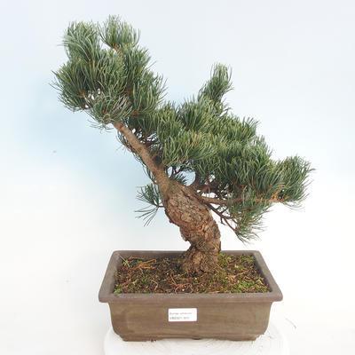 Outdoor bonsai - Pinus parviflora - Sosna drobnokwiatowa - 1