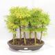 Outdoor bonsai - Pseudolarix amabilis - Pamodřín - gaj z 9 drzewami - 1/5