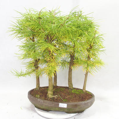 Outdoor bonsai - Pseudolarix amabilis - Pamodřín - gaj z 5 drzewami - 1
