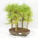Outdoor bonsai - Pseudolarix amabilis - Pamodřín - gaj z 5 drzewami - 1/5