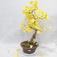 Outdoor bonsai - Ginkgo biloba - 1/7