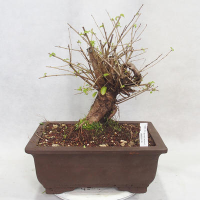 Outdoor bonsai -Mahalebka - Prunus mahaleb - 1