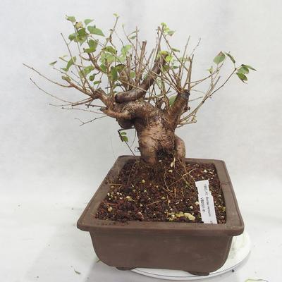 Outdoor bonsai -Mahalebka - Prunus mahaleb - 1