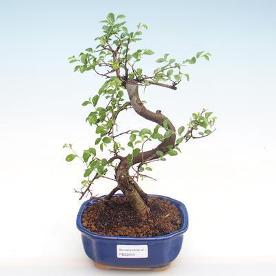 Kryty bonsai - Ulmus parvifolia - Wiąz mały liść PB22043 - 1