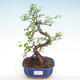 Kryty bonsai - Ulmus parvifolia - Wiąz mały liść PB22043 - 1/3