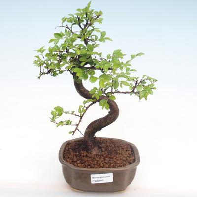 Kryty bonsai - Ulmus parvifolia - Wiąz mały liść PB22045 - 1
