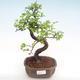 Kryty bonsai - Ulmus parvifolia - Wiąz mały liść PB22045 - 1/3