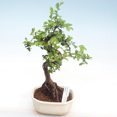 Kryty bonsai - Ulmus parvifolia - Wiąz mały liść PB22047 - 1