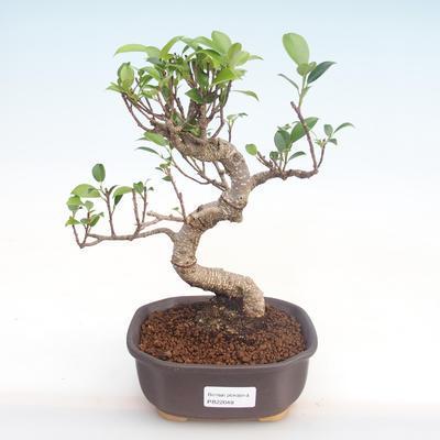 Kryty bonsai - kimono Ficus - ficus mały liść PB220048