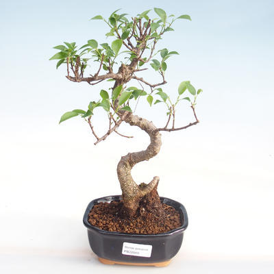 Kryty bonsai - kimono Ficus - ficus mały liść PB220049