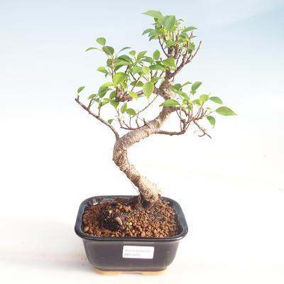 Kryty bonsai - kimono Ficus - ficus mały liść PB220050