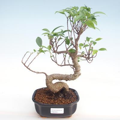 Kryty bonsai - kimono Ficus - ficus mały liść PB220051