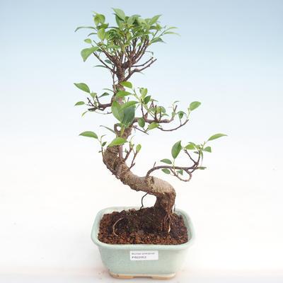 Kryty bonsai - kimono Ficus - ficus mały liść PB220052