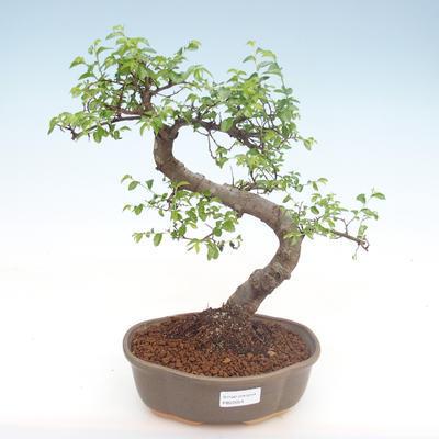 Kryty bonsai - Ulmus parvifolia - Wiąz mały liść PB22054 - 1