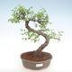 Kryty bonsai - Ulmus parvifolia - Wiąz mały liść PB22054 - 1/3