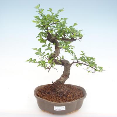 Kryty bonsai - Ulmus parvifolia - Wiąz mały liść PB22055 - 1