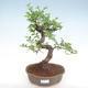 Kryty bonsai - Ulmus parvifolia - Wiąz mały liść PB22055 - 1/3