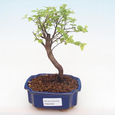 Kryty bonsai - Sagerécie thea - Sagerécie thea PB220059 - 1