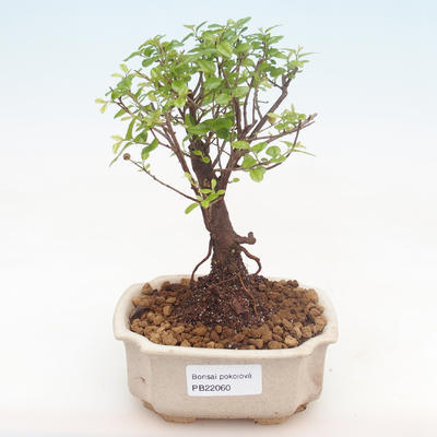 Kryty bonsai - Sagerécie thea - Sagerécie thea PB22060 - 1