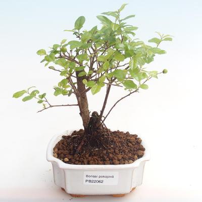 Kryty bonsai - Sagerécie thea - Sagerécie thea PB22062 - 1