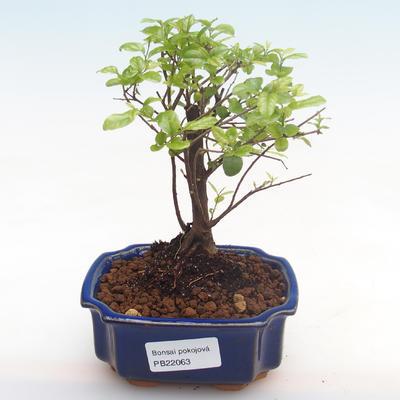 Kryty bonsai - Sagerécie thea - Sagerécie thea PB22063 - 1