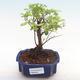 Kryty bonsai - Sagerécie thea - Sagerécie thea PB22063 - 1/4