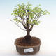 Kryty bonsai - Sagerécie thea - Sagerécie thea PB22064 - 1/4