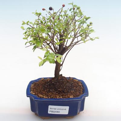 Kryty bonsai - Sagerécie thea - Sagerécie thea PB22065 - 1