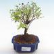 Kryty bonsai - Sagerécie thea - Sagerécie thea PB22065 - 1/4