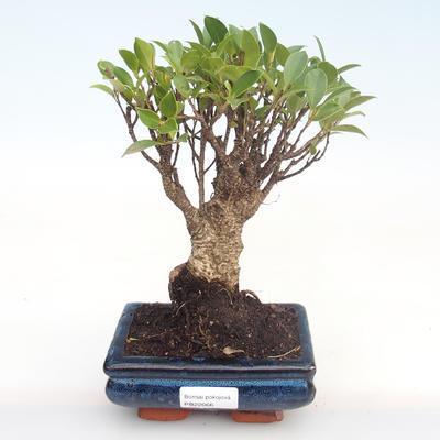 Kryty bonsai - Ficus retusa - ficus mały liść PB22066 - 1