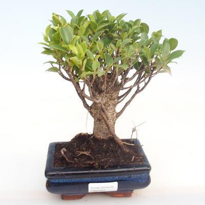Kryty bonsai - Ficus retusa - ficus mały liść PB22067 - 1