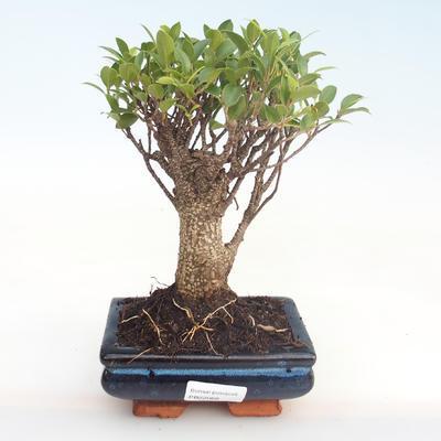 Kryty bonsai - Ficus retusa - ficus mały liść PB22068 - 1