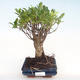 Kryty bonsai - Ficus retusa - ficus mały liść PB22069 - 1/2