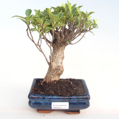 Kryty bonsai - Ficus retusa - ficus mały liść PB22073 - 1