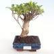 Kryty bonsai - Ficus retusa - ficus mały liść PB22073 - 1/2