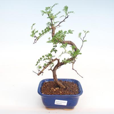Kryty bonsai - Zantoxylum piperitum - Drzewo pieprzowe PB22075 - 1