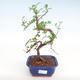 Kryty bonsai - Zantoxylum piperitum - Drzewo pieprzowe PB22075 - 1/4