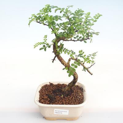 Kryty bonsai - Zantoxylum piperitum - Drzewo pieprzowe PB22076 - 1
