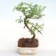 Kryty bonsai - Zantoxylum piperitum - Drzewo pieprzowe PB22076 - 1/4